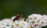 Gemeiner Bienenkaefer Trichodes apiarius_3015