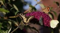 Schmetterlinge 0721